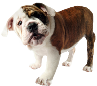 Image of a bulldog puppy
